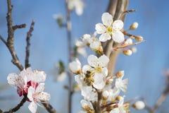 La abeja recoge el polen de las flores Fotos de archivo
