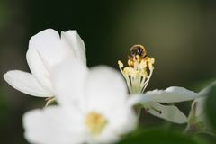 La abeja recoge el polen de las flores blancas de la manzana Foto de archivo