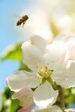 La abeja recoge el polen de las flores de la manzana Foto de archivo libre de regalías