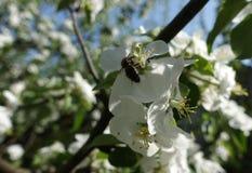 La abeja recoge el polen de las flores del manzano Fotos de archivo