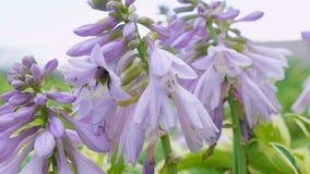 La abeja recoge el polen de las flores de los anfitriones almacen de video