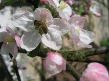 La abeja recoge el polen de las flores de la manzana Imágenes de archivo libres de regalías