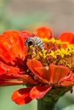 La abeja recoge el polen de macro del primer de las flores del rojo Foto de archivo libre de regalías