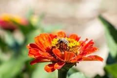 La abeja recoge el polen de macro del primer de las flores del rojo Fotografía de archivo libre de regalías