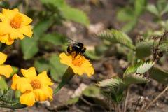 La abeja recoge el polen de maravillas que se marchitan en el jardín foto de archivo