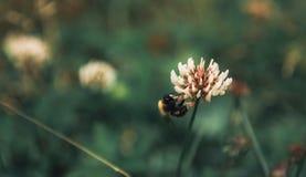 la abeja recoge el polen de la torta sin días libres y días de fiesta Foto de archivo libre de regalías