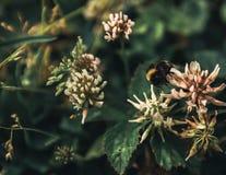 la abeja recoge el polen de la torta sin días libres y días de fiesta Imágenes de archivo libres de regalías