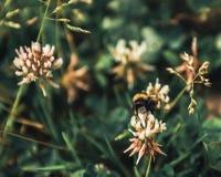la abeja recoge el polen de la torta sin días libres y días de fiesta Fotos de archivo