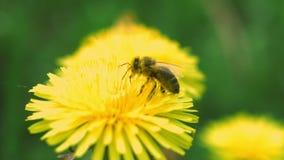 La abeja recoge el polen de un diente de león almacen de metraje de vídeo