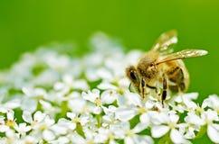 La abeja recoge el polen de una flor Imagen de archivo libre de regalías
