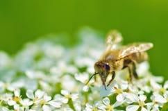La abeja recoge el polen de una flor Fotografía de archivo libre de regalías