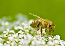 La abeja recoge el polen de una flor Imagen de archivo