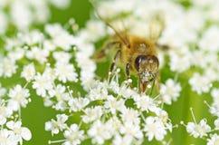 La abeja recoge el polen de una flor Imágenes de archivo libres de regalías