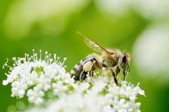 La abeja recoge el polen de una flor Foto de archivo libre de regalías