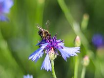 La abeja recoge el polen de una flor azul del campo en un fondo verde Foto macra de una planta y de los insectos del campo en los Foto de archivo libre de regalías
