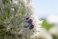 La abeja recoge el polen de una flor blanca floreciente del ajo Imágenes de archivo libres de regalías