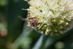 La abeja recoge el polen de una flor blanca floreciente del ajo Imagenes de archivo