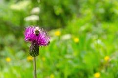 La abeja recoge el polen de una flor púrpura Imágenes de archivo libres de regalías