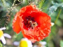 La abeja recoge el polen de una flor roja del campo en un fondo verde Foto macra de una planta y de los insectos del campo en los Imagen de archivo libre de regalías