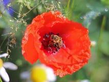 La abeja recoge el polen de una flor roja del campo en un fondo verde Foto macra de una planta y de los insectos del campo en los Imagen de archivo