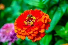La abeja recoge el polen de zinnias anaranjados Foto de archivo