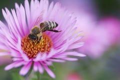 La abeja recoge el polen del aster Fotografía de archivo libre de regalías