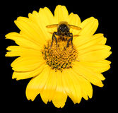 La abeja recoge el polen del aster perenne de las flores del amarillo aislado Imagen de archivo libre de regalías