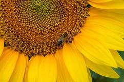 La abeja recoge el polen del girasol para la miel Imagen de archivo