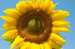 La abeja recoge el polen del girasol para la miel Imagen de archivo libre de regalías