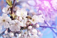 La abeja recoge el polen del néctar de las flores blancas de un floweri Imagenes de archivo