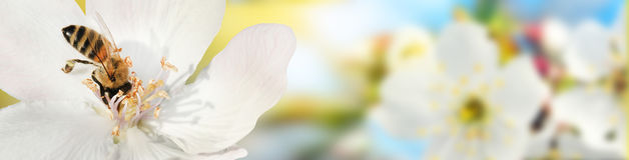 La abeja recoge el polen del néctar de las flores de un qui floreciente Foto de archivo
