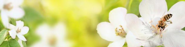 La abeja recoge el polen del néctar de las flores de un qui floreciente Foto de archivo libre de regalías