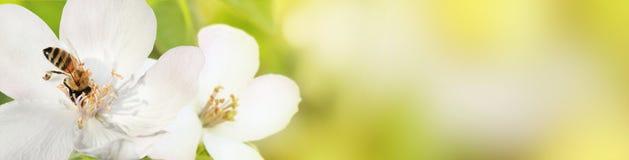 La abeja recoge el polen del néctar de las flores de un qui floreciente Fotos de archivo libres de regalías