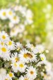 La abeja recoge el polen del néctar de los asteres de la flor blanca en GR Fotografía de archivo