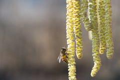 La abeja recoge el polen en el avellano Imagen de archivo libre de regalías