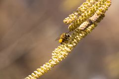 La abeja recoge el polen en el avellano Imágenes de archivo libres de regalías