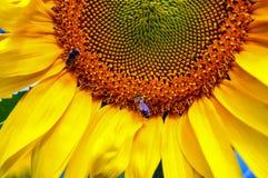 La abeja recoge el polen en el campo con los girasoles Fotografía de archivo libre de regalías