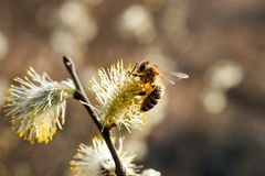 La abeja recoge el polen en el árbol floreciente Foto de archivo