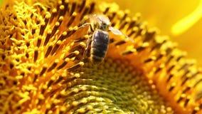 La abeja recoge el polen en el girasol almacen de metraje de vídeo
