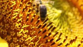 La abeja recoge el polen en el girasol metrajes