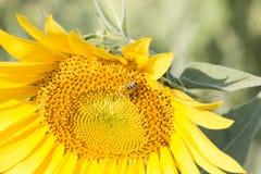 La abeja recoge el polen en el girasol Imágenes de archivo libres de regalías