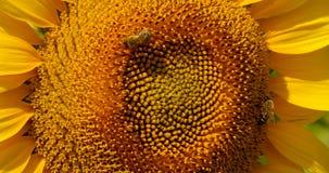 La abeja recoge el polen en el girasol Fotos de archivo