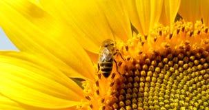 La abeja recoge el polen en el girasol Foto de archivo libre de regalías