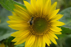 La abeja recoge el polen en el girasol amarillo Fotografía de archivo