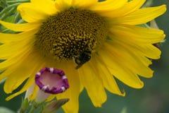 La abeja recoge el polen en el girasol amarillo Fotos de archivo