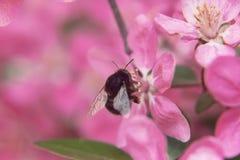La abeja recoge el polen en el paraíso hermoso rosado appl de las flores del árbol Imagen de archivo
