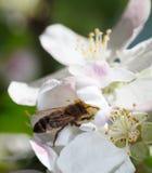La abeja recoge el polen en la flor de la manzana Foto de archivo