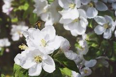 La abeja recoge el polen en el flor de la manzana Primer, foco selectivo El concepto de un jardín floreciente de la primavera foto de archivo libre de regalías