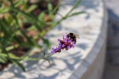 La abeja recoge el polen en la flor violeta Clima en el parque de la ciudad imágenes de archivo libres de regalías