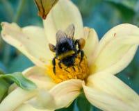 La abeja recoge el polen en la flor amarilla Foto de archivo